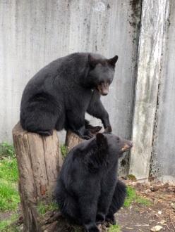 Black bears 2